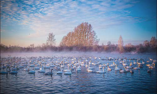 Wintering swans image