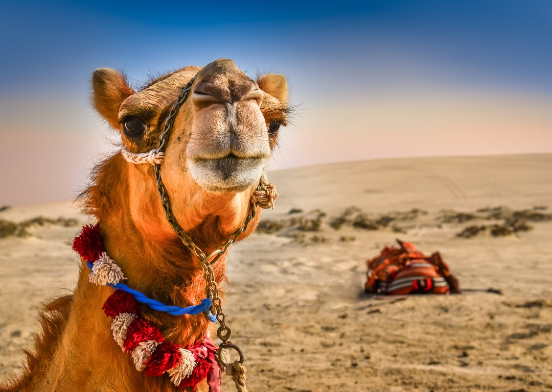 TAKE YOUR OPPORTUNITY TO RIDE A CAMEL image