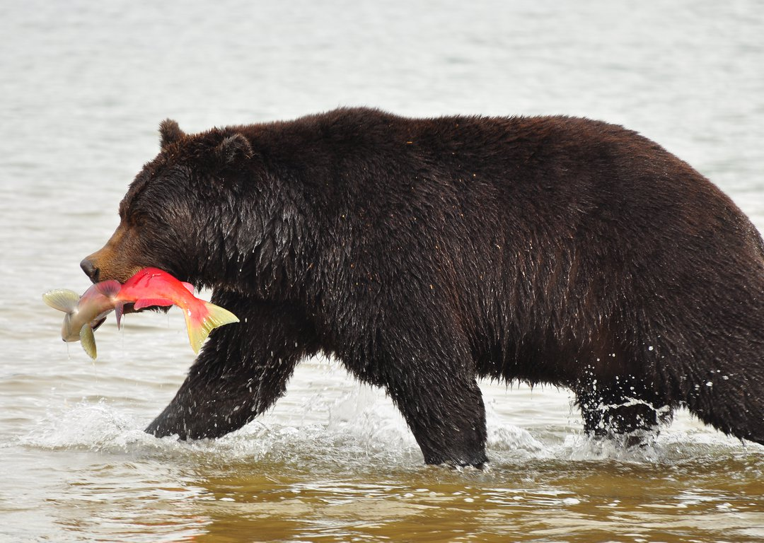 Kurile Lake Bears image