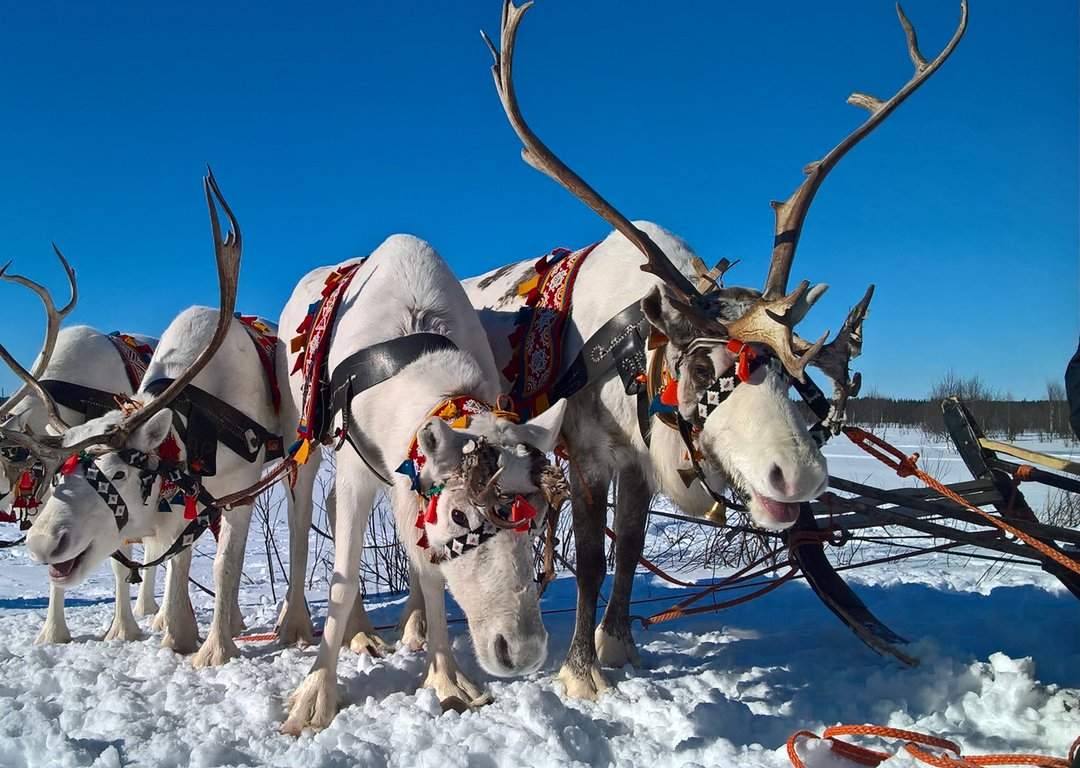 The beautiful world of a Saami reindeer herder image