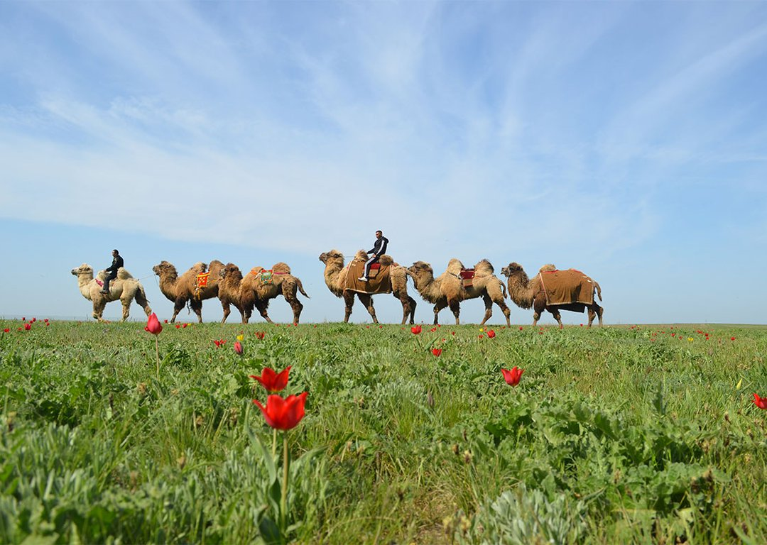 Bactrian camels image