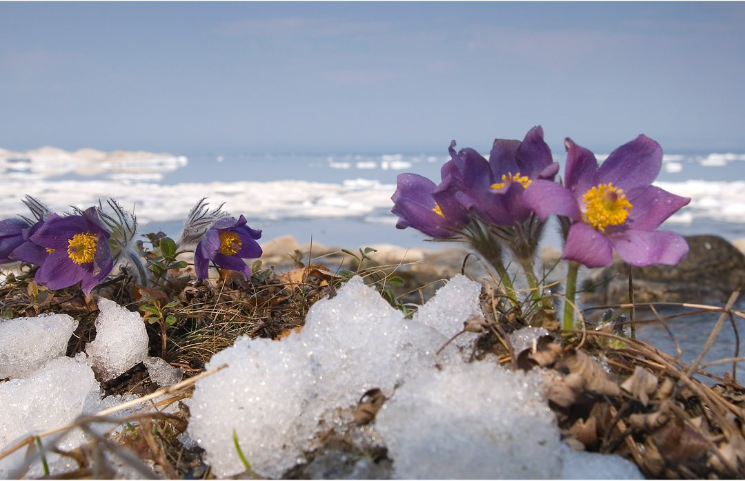 First flowers on Lake Baikal image