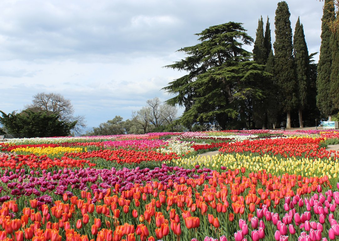 Spring Tulips Show in Yalta image